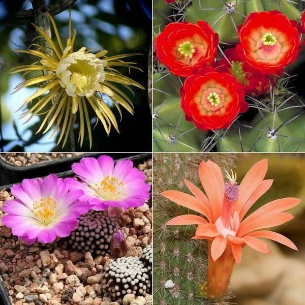 Цветы кактусов фото