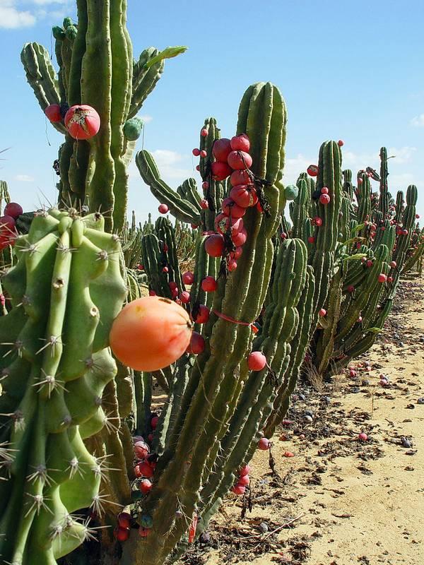 Цереус перуанский (скалистый) фото (Cereus repandus)