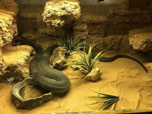 Черношейная (черношеяя) кобра фото (лат. Naja nigricollis)
