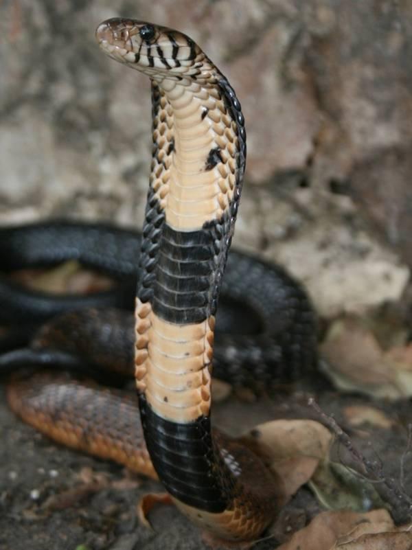 Чёрно-белая кобра фото (лат. Naja melanoleuca)