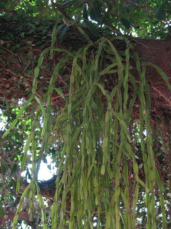 Эпифитный кактус Rhipsalis paradoxa фото