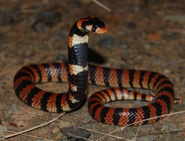 Южноафриканская щитковая кобра фото (лат. Aspidelaps lubricus)