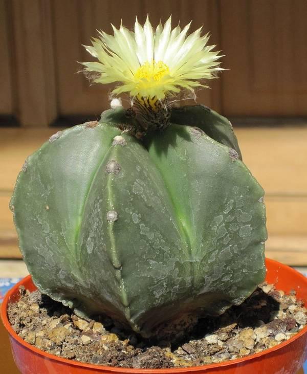 Астрофитум многорыльцевый без колючек Astrophytum myriostigma var. nudum фото