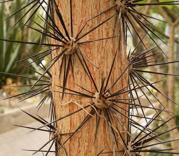 Древовидный ствол перескии крупнолистной фото (лат. Pereskia grandifolia)