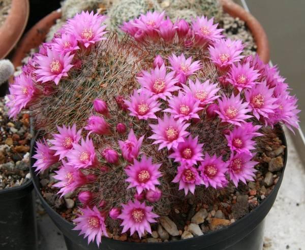 Кактус маммиллярия Цейльмана фото (лат. Mammillaria zeilmanniana)