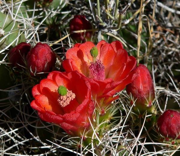 Кактус с красными цветами Echinocereus triglochidiatus фото