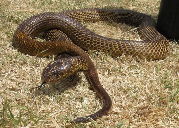 Капская кобра фото (лат. Naja nivea)
