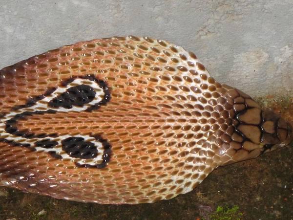 Капюшон индийской (очковой) кобры фото (лат. Naja naja)