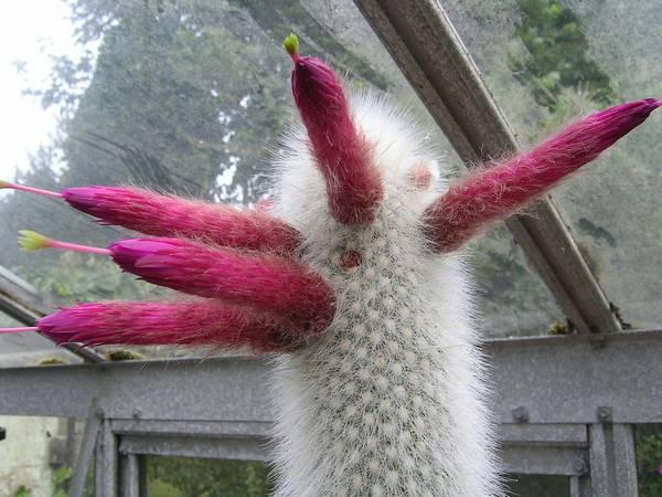 Клейстокактус Штрауса фото (лат. Cleistocactus strausii)