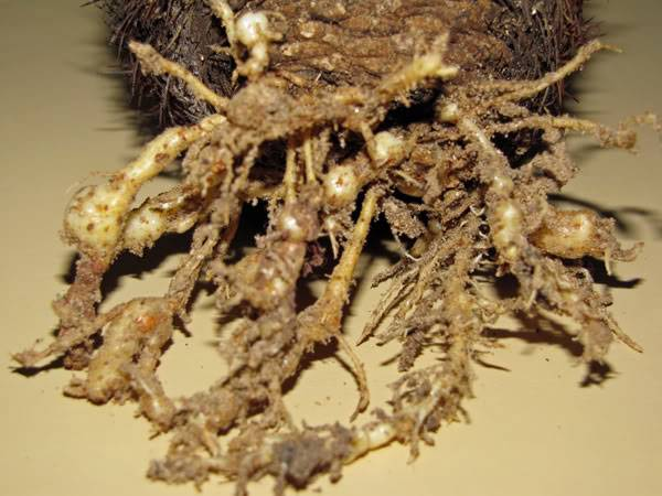 Корневые нематоды на кактусе фото