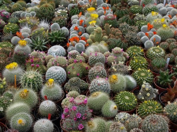 Красивые комнатные кактусы фото