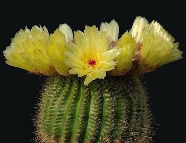Красивый нотокактус наименьший с желтыми цветами фото (лат. Notocactus minimus)