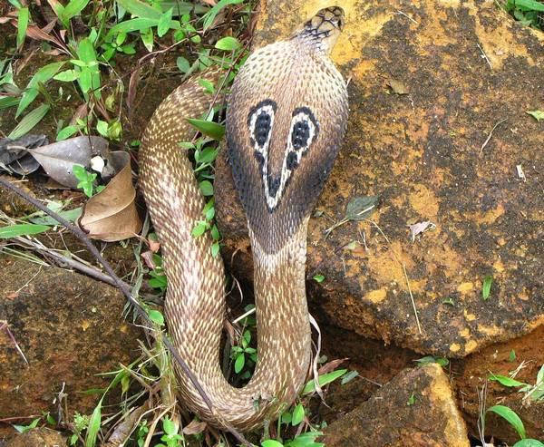 Очковая змея (индийская кобра) фото (лат. Naja naja)