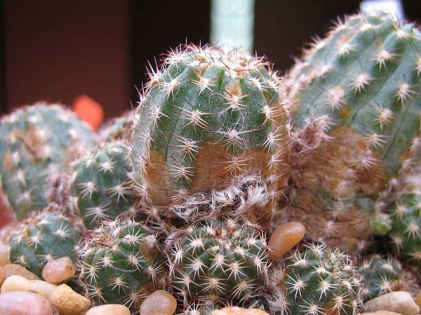 Паутинный клещ на кактусе фото