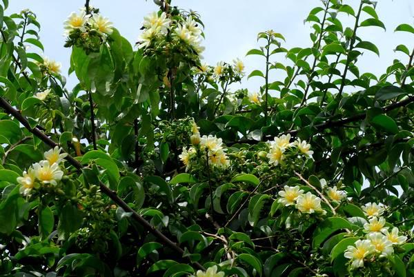 Переския шиповатая (переския колючая, барбадосский крыжовник) фото (лат. Pereskia aculeata)