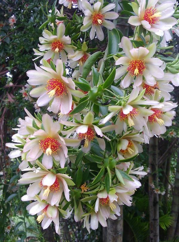Переския шиповатая фото (лат. Pereskia aculeata)