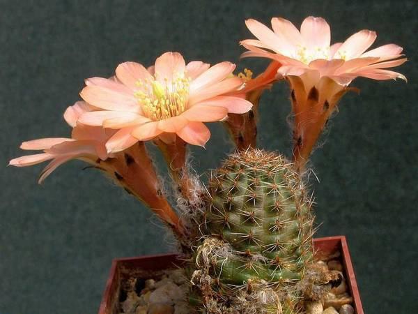 Ребуция карликовая фото (лат. Rebutia pygmaea)