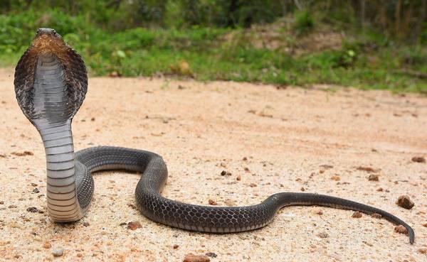 Сиамская кобра фото (лат. Naja siamensis)