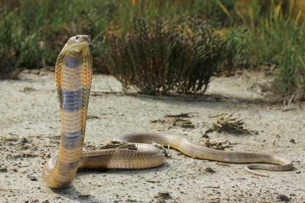 Среднеазиатская кобра фото (лат. Naja oxiana)