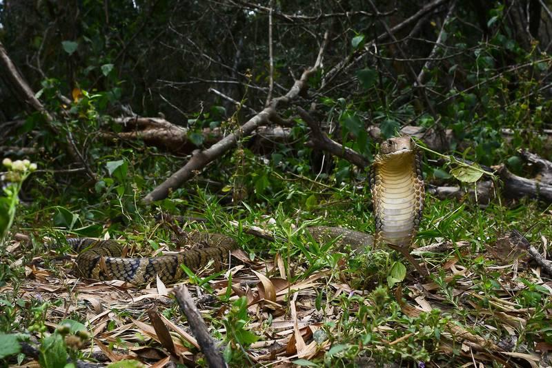 Фото королевской кобры в стойке (лат. Ophiophagus hannah)