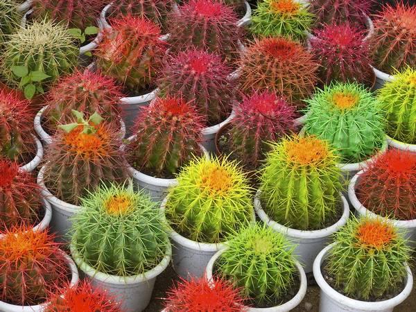 Цветные кактусы фото
