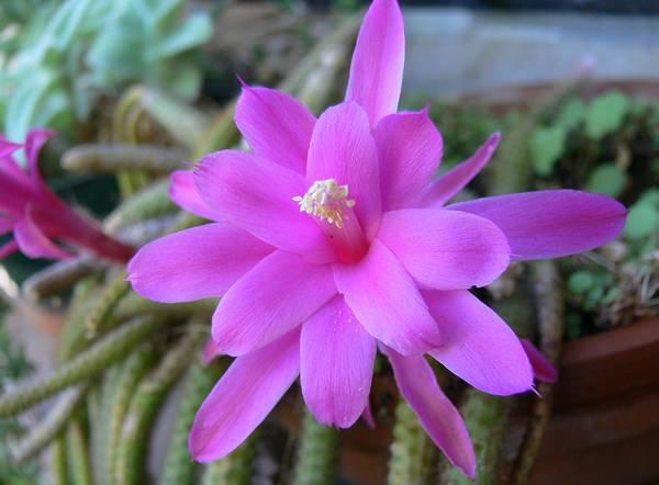Цветы апорокактуса плетевидного фото