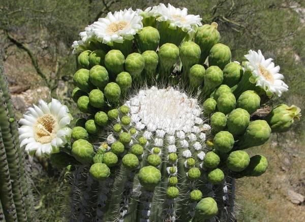 Цветы карнегии гигантской фото (лат. Carnegiea gigantea)