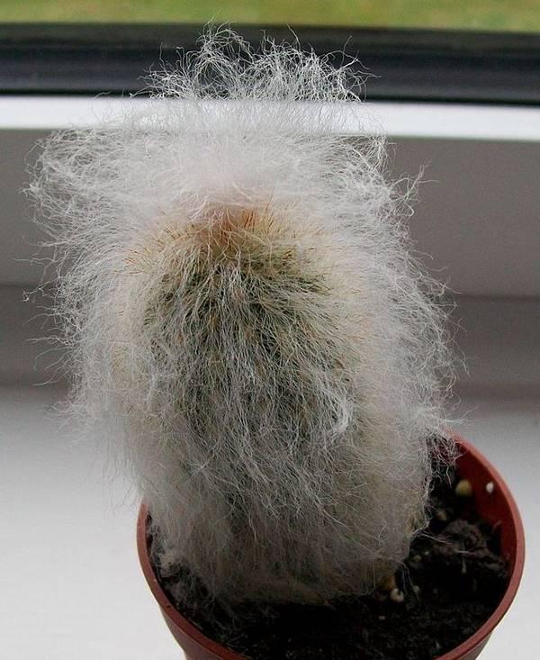 Цефалоцереус Старческий (сенилис) фото (лат. Cephalocereus senilis)