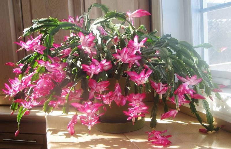 Шлюмбергера усечённая с розовыми цветами фото (лат. Schlumbergera truncata)