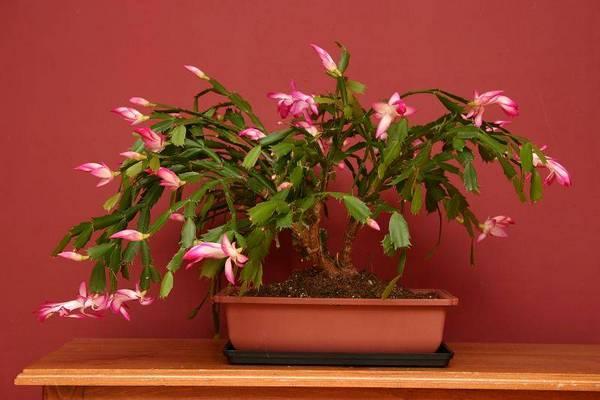 Эпифитный кактус Шлюмбергера (зигокактус, декабрист), вид Zygocactus bonsai