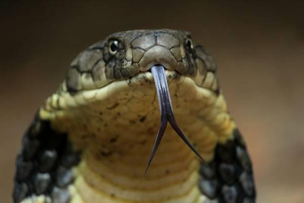 Язык королевской кобры фото (лат. Ophiophagus hannah)