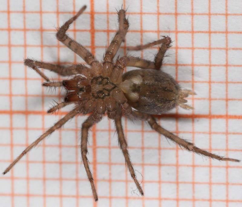 Домовый паук (тегенария домовая) фото (лат. Tegenaria domestica)