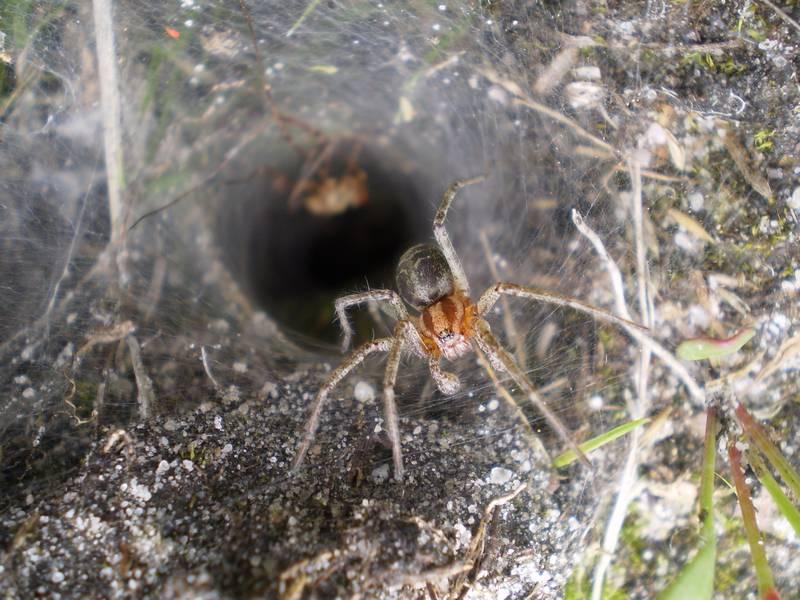 Лабиринтовый паук (агелена лабиринтовая) фото (лат. Agelena labyrinthica)