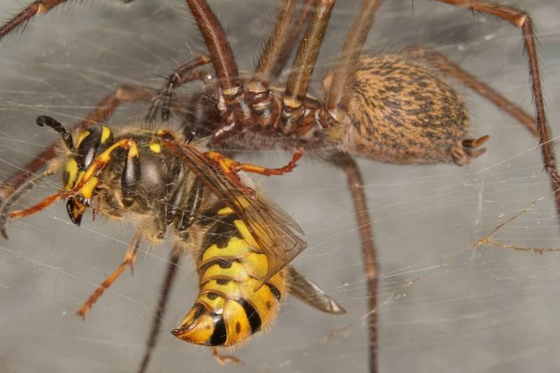 Пища паука-воронкопряда фото