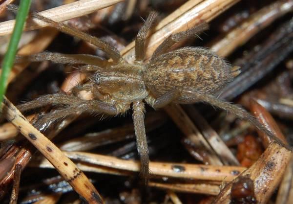 Американский домовый паук-воронкопряд фото (лат. Tegenaria agrestis)