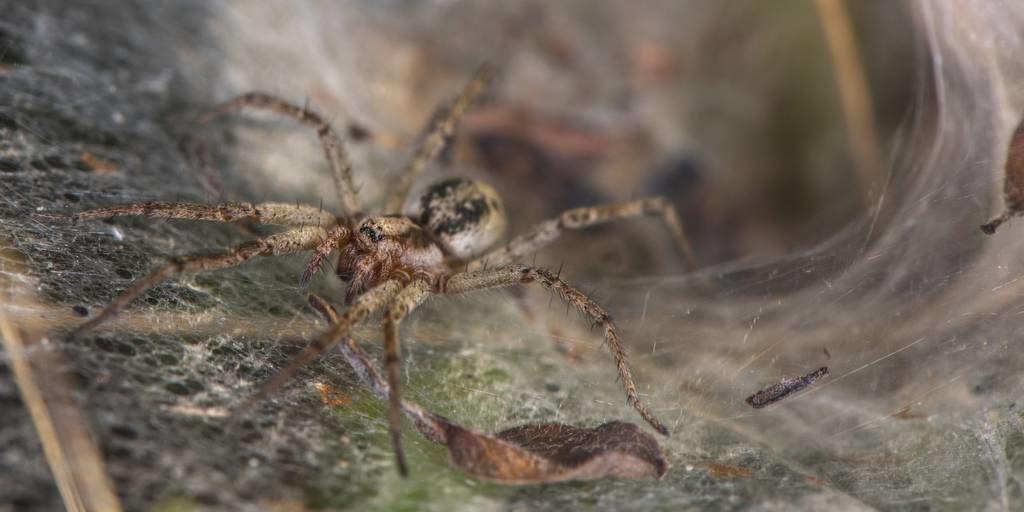 Воронковый паук фото