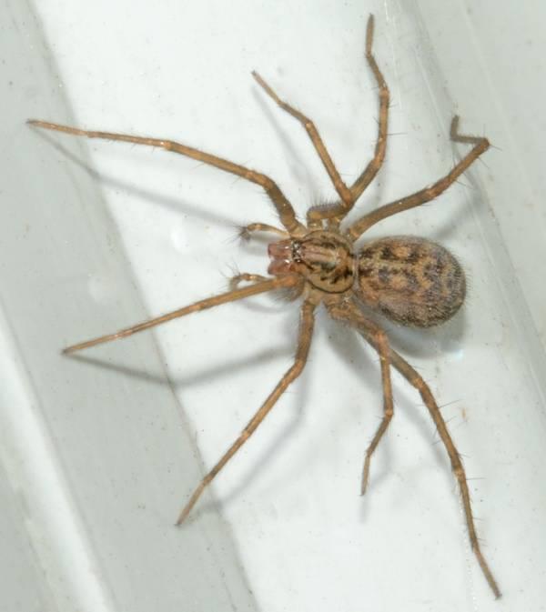 Воронковый паук Tegenaria parietina фото