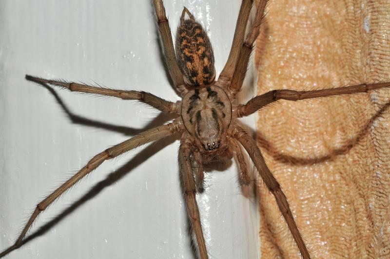 Гигантский домовой паук, большой черный домашний паук (лат. Eratigena atrica, Tegenaria duellica)