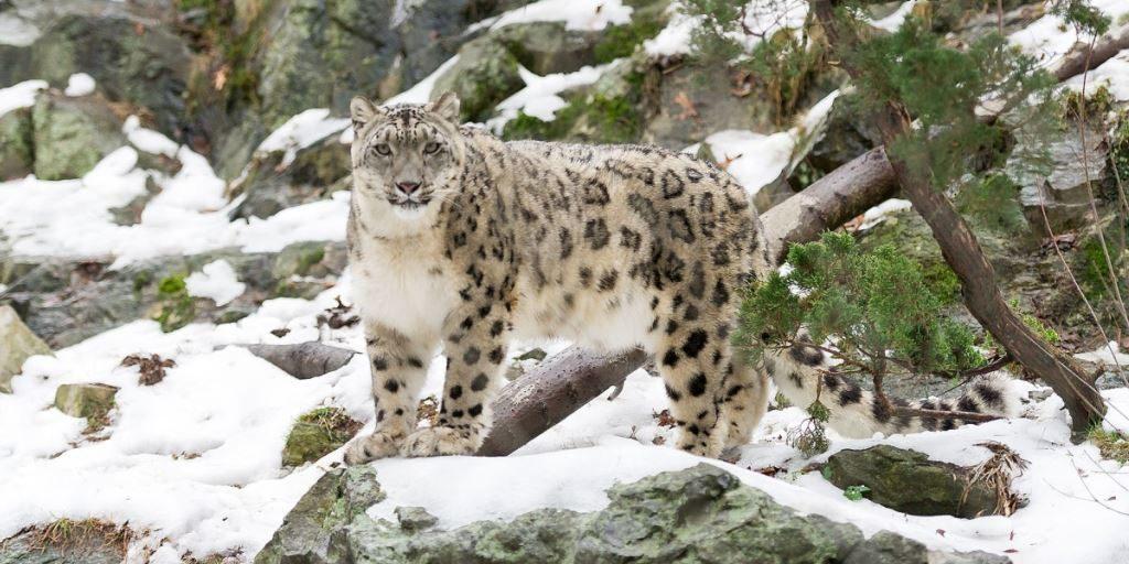 Ирбис (снежный барс) фото