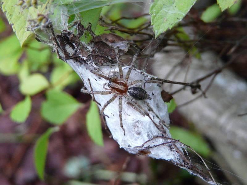 Кокон воронкового паука фото