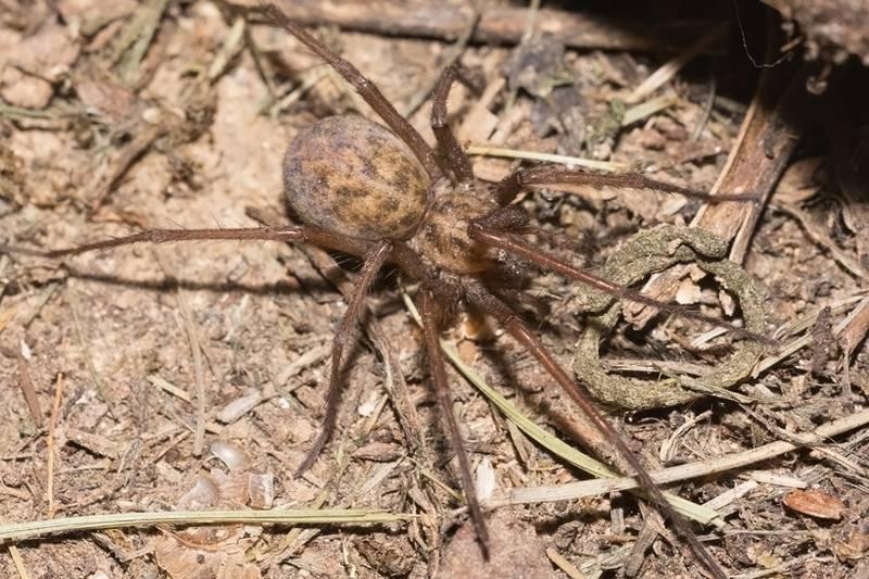 Луговой паук, американский домовый паук, паук-бродяга (лат. Eratigena agrestis, Tegenaria agrestis)
