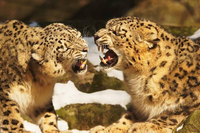 Снежные леопарды рычат друг на друга фото