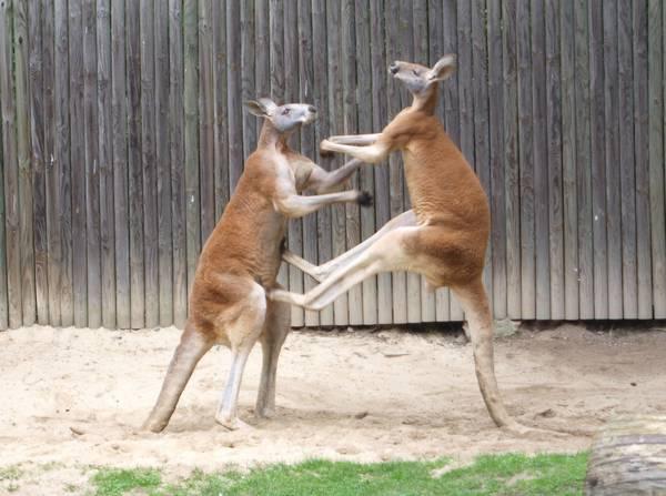 Большие рыжие кенгуру дерутся фото (лат. Macropus rufus)