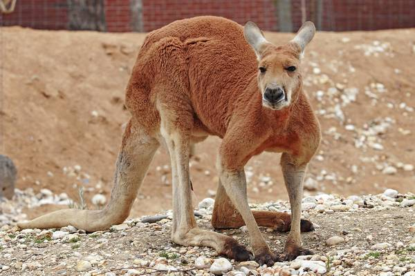 Большой рыжий кенгуру (рыжий исполинский кенгуру) фото (лат. Macropus rufus)