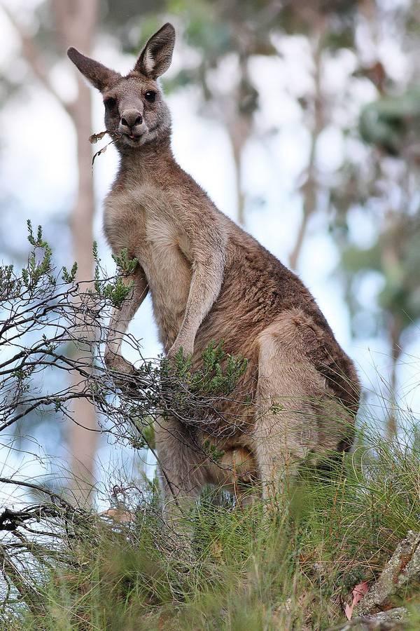 Гигантский кенгуру (лесной, восточный серый исполинский кенгуру) фото (лат. Macropus giganteus)
