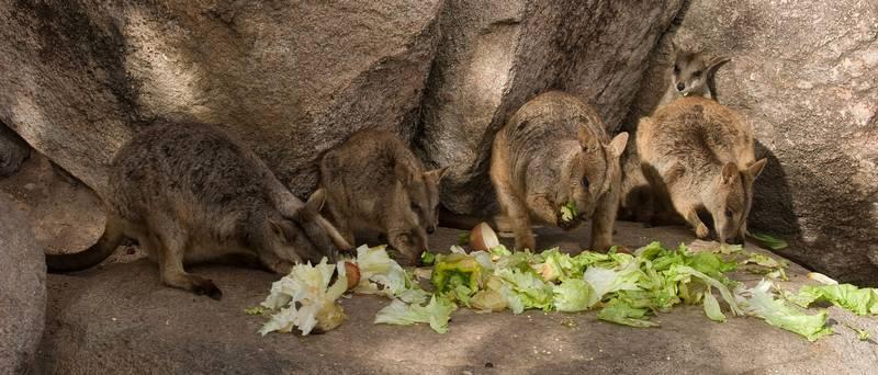 Квинслендские скальные валлаби в зоопарке фото (лат. Petrogale assimilis)