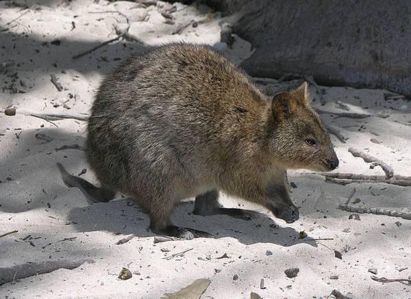 Квокка (короткохвостый кенгуру) фото (лат. Setonix brachyurus)