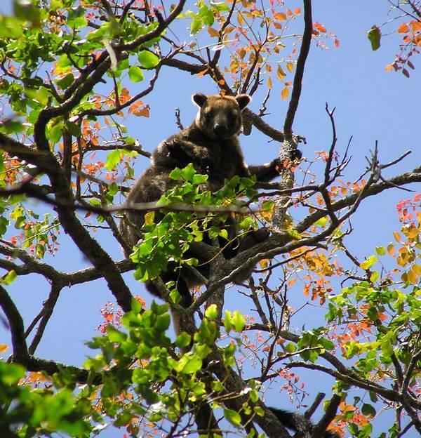 Кенгуру Беннетта на дереве фото (лат. Dendrolagus bennettianus)