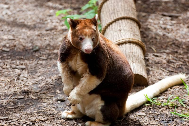 Кенгуру Матчи животное фото (лат. Dendrolagus matschiei)