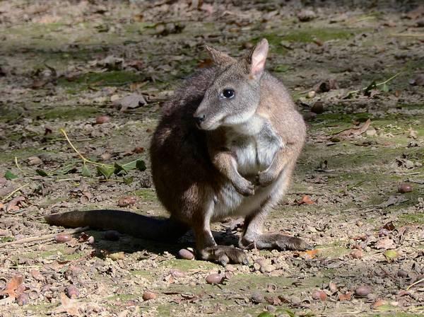 Белогрудый филандер (валлаби Парма, белогрудый валлаби) фото (лат. Macropus parma)